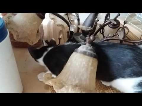 Domestic Short Hair Kitten For Adoption - 2 Months, Kitten..