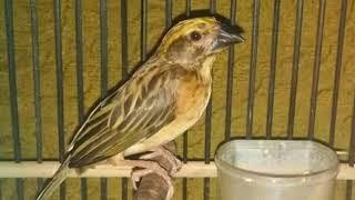 Download Langsung nyaut!!! Masteran Burung Manyar super efektif bikin Burung Manyar gacor dan ngeplong