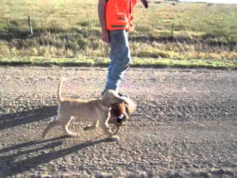 yellow lab puppy pheasant hunting in south dakota - YouTube  yellow lab pupp...