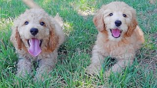 Golden Doodle Sisters First Playdate Outside!!