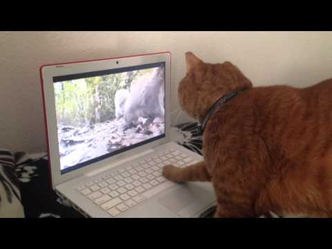 Cat Watches Squirrel on Laptop