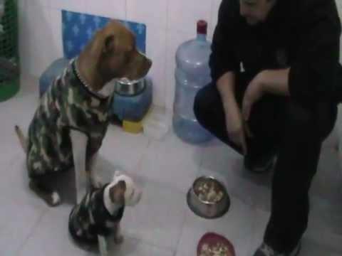 Pitbulls ' rabiosos ' por su comida, KILO (grande) y JAIKO (cachorro), Tecnicas de CESAR MILLAN