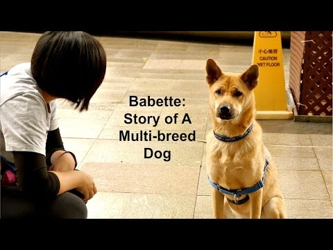 Babette-Story of A Multi-breed Dog (Hong Kong Dog Rescue)