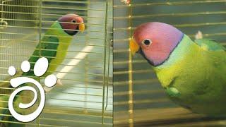 Сливоголовый Попугай. Все О Домашних Животных.