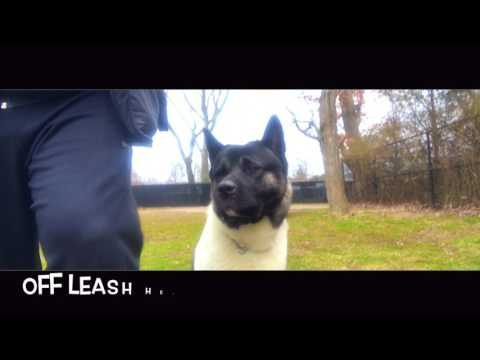 jax:-akita-with-amazing-obedience:-best-dog-trainer-in-new-york