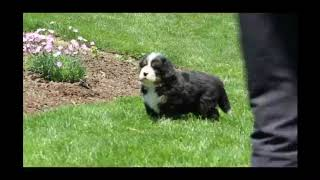 Bernese Mountain Dog puppies for sale Chris Stoltzfus