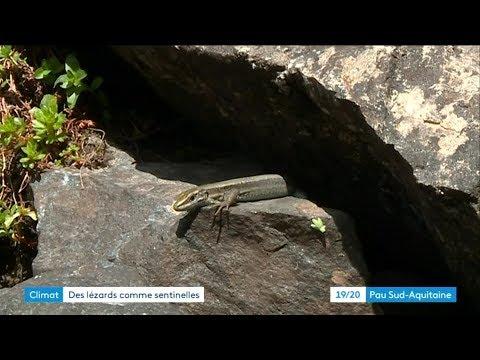 Vallée d'Ossau : le lézard, espèce sentinelle pour mesurer les effets du réchauffement climatique - - France 3 Nouvelle-Aquitaine