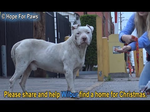 download Homeless and abused, this Pit Bull didn't lose HOPE that something amazing will happen!