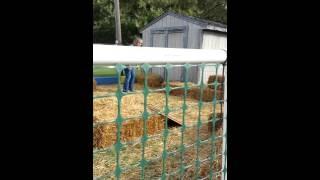 Millie The Border Terrier - Barn Hunt Practice 10-