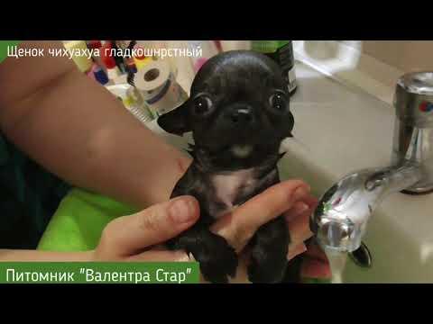 Крошка чихуахуа.Как безопасно помыть МИНИ щенка?