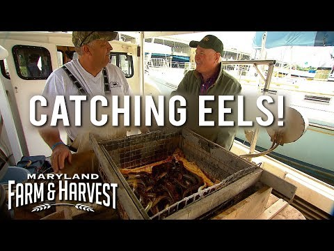 How To Catch (and Eat) Eels! | Maryland Farm & Harvest