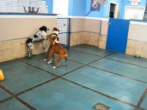 Boxers and a German Shorthair Pointer play at Doggie Oasis Day Care in Las Vegas, NV