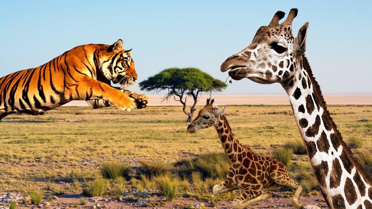 Жирафа и тигр