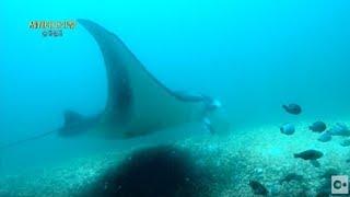 인도네시아. 만타가오리와 함께하는 스쿠버 다이빙!