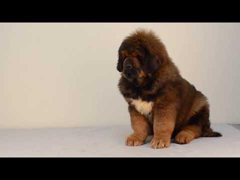 Tibetan Mastiff Puppies Conrad ll  Asantiko