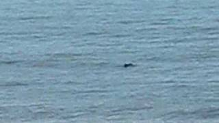 School of Dolphins at Cottage Inn by the sea.wmv