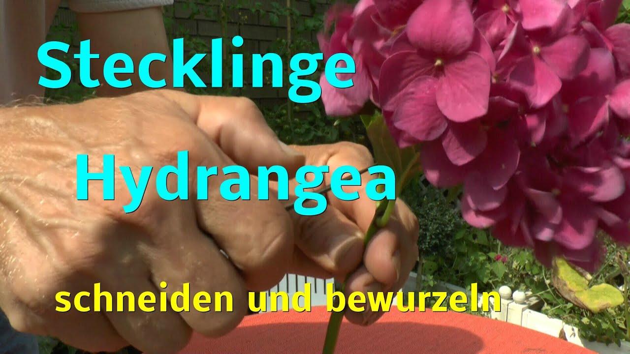 Stecklinge Hortensie Von Hydrangea Macrophylla Der Bauernhortensie