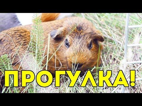 Вопрос: Можно ли морским свинкам черешню?