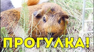 Морские Свинки НА ПРОГУЛКЕ / Как Гулять с Морскими Свинками