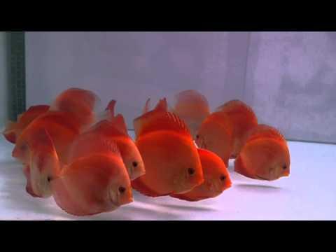 Ichi Ban Red -  E14