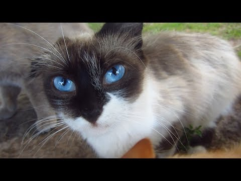 Cute cat with blue eyes on the street