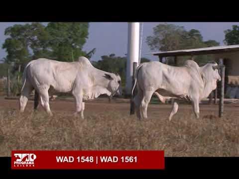 LOTE 58 - WAD 1548 | WAD 1561