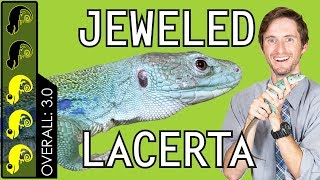 jeweled-lacerta-the-best-pet-lizard