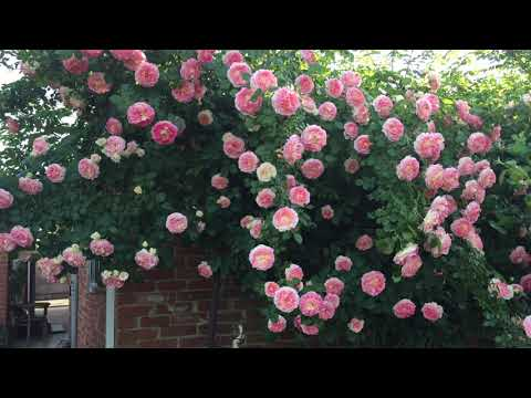 САД С ПЛЕТИСТЫМИ РОЗАМИ  Garden with climbing roses