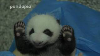 Nanny helps panda baby with defecation.