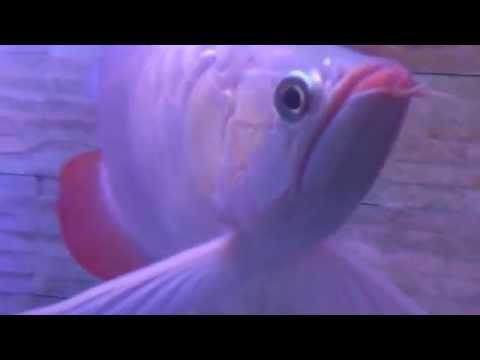 Cá rồng ăn rết ( huyết long 10/7/2012 )