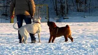Dogo Argentino Vs Shar Pei