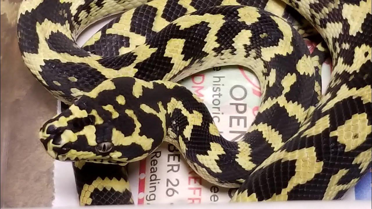 Gamma Line Carpet Python Female - YouTube
