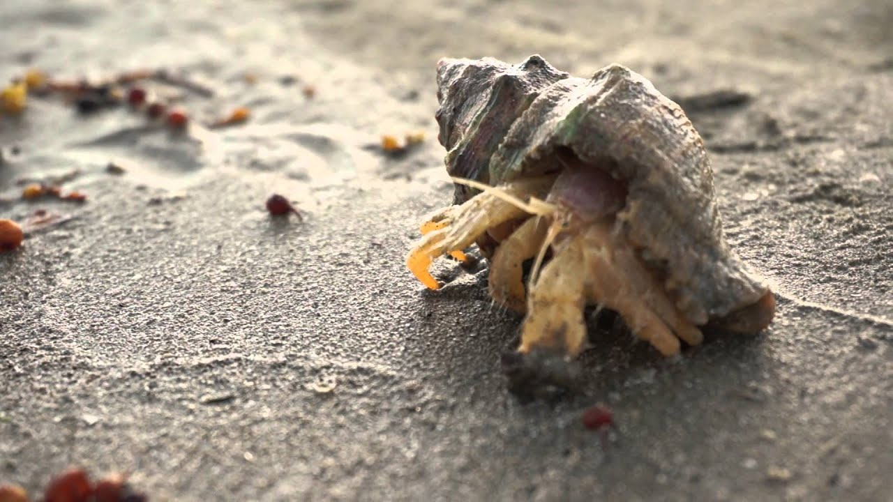 Hermit Crab - Galveston East Beach - YouTube