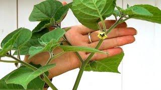 Физалис декоративный выращивание из семян