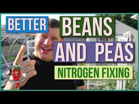 Better Peas And Beans?  How Nitrogen Fixing Rhizobium Improves Yield And Soil Organically
