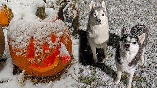 Huskies First Snow on Halloween