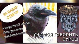 Обучение разговору птенца чёрного ворона