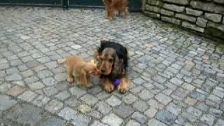 Englisch Cocker Spaniel Welpen / Puppies 10 Wochenalt