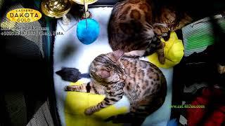 Международная Выставка кошек, Харьков, 04032018, часть 5