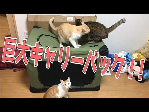 大型犬用超巨大キャリーバックに猫たち大興奮!!【超便利】