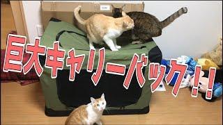 大型犬用超巨大キャリーバックに猫たち大興奮!!【超便利】 thumbnail