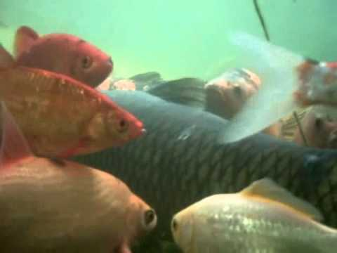 Tolle fische im teich youtube for Teich winter fische