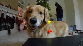 ゴールデンのオシーといっしょに、クリスマスツリーの飾り付けをしよう!