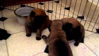 Pug X Pomeranian Puppies. 2 Week Old Pom Pugs