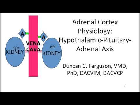 Adrenal Cortex: Hypothalamic