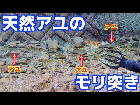 超透明な川で天然アユのモリ突きに挑戦!
