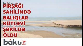 Pirşağı sahilində balıqlar kütləvi şəkildə öldü