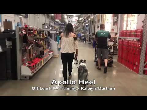 """2yo Australian Shepherd """"Apollo"""" Before and After - Dog Trainer Raleigh Durham"""
