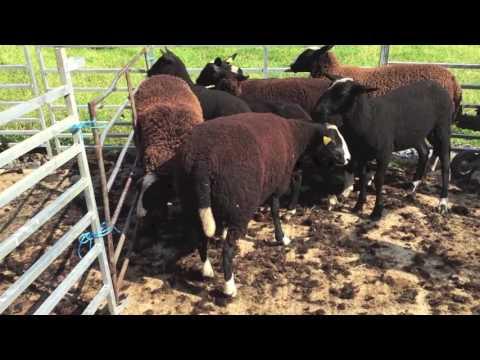 Shearing Ewe Lambs 2016: Zwartbles Ireland