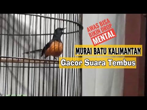 Murai Batu Borneo / Kalimatan | Gacor bisa bikin musuh Ngedrop mentalnya